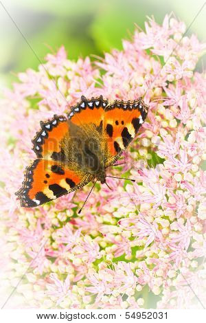 Small Tortoiseshell Butterfly Or Aglais Urticae On Sedum Flowers