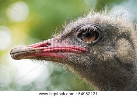 Ostrich Or Struthio Camelus Head In Side Angle View