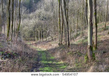 Pathway Through Young Trees