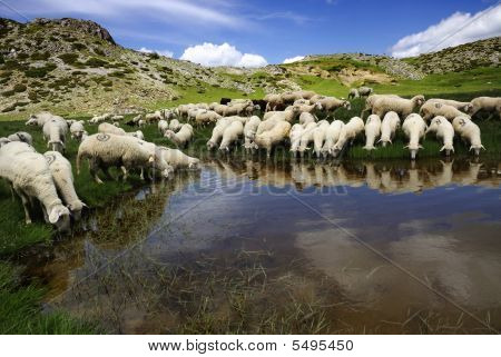 Sheep On The Bistra Mountain
