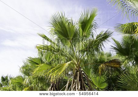 European Fan Palm, Chamaerops Humilis