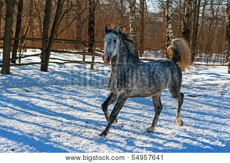 Grey galloping horse.
