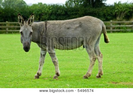 Grey Donkey Watching