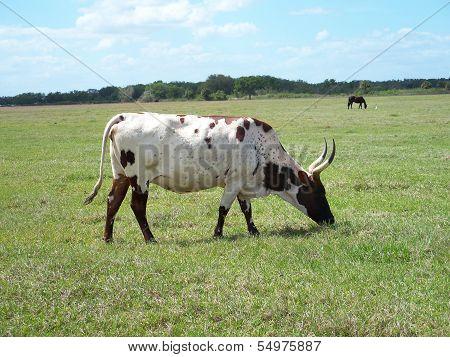 Longhorn Bull Cow Livestock
