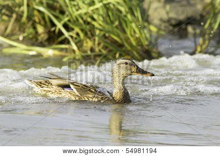 mallard  in natural habitat / Anas platyrhynchos