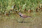 stock photo of killdeer  - Killdeer in a puddle of water at the side of a rural roadway left by recent rains - JPG