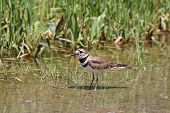 stock photo of killdeer  - Killdeer in a puddle of water at the side of a rural roadway left by recent rains.