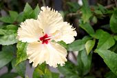 Yellow Hibiscus Flower.