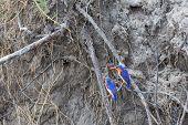 image of malachite  - Malachite Kingfishers in Okavango Delta shore. See my other works in portfolio. ** Note: Slight blurriness, best at smaller sizes - JPG
