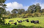 picture of scorpion  - Black cows grazing near the Cotswold village of Compton Scorpion - JPG