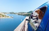 stock photo of hound dog  - The cute beagle travels in the blue car - JPG