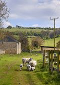 stock photo of spring lambs  - Farm scene showing sheep and lambs - JPG