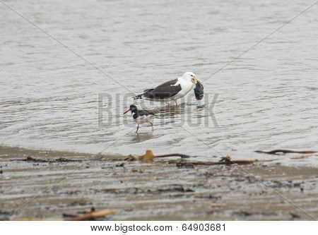 Herring Gull With Fish In The Sea