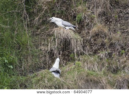 Fulmar Seabirds Nesting On Cliff
