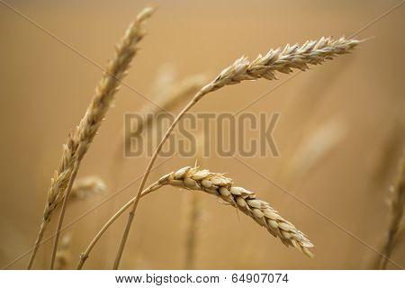Golden ears of wheat on the field.