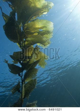 Kelp Frond