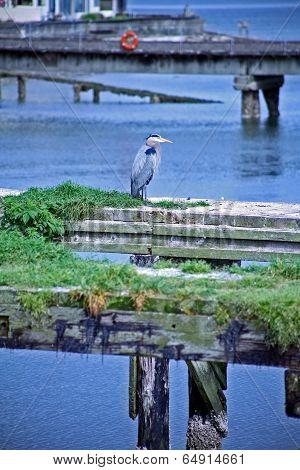 Pelican on the Dock