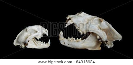 Size Comparison. North American Mountain Lion (left) And An African Lion (right).