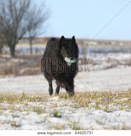 Six Years Old Groenendael Running With Its Toy In Winter