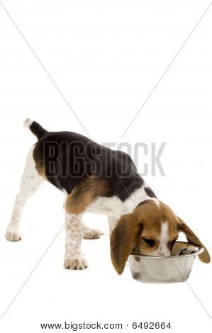 Beagle Puppy Essen