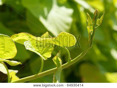 Fresh green shoot of convolvulus