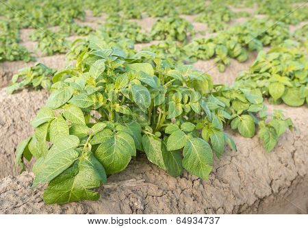 Potato Plants From Close