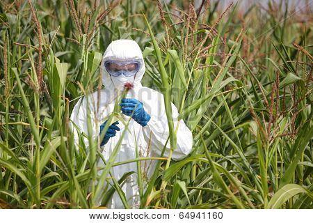 GMO,professional in uniform goggles,mask and gloves examining corn cob on field