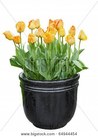 Tulips In The Pot