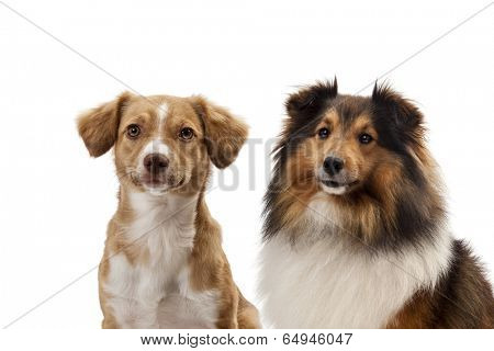 Close-up of two dogs side by side over white background