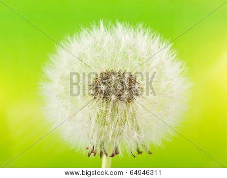 Dandelion (macro)