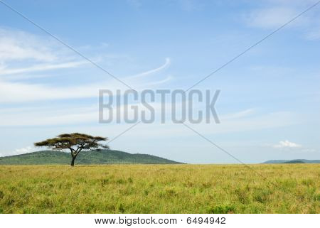 An Acacia Tree In The Savannah