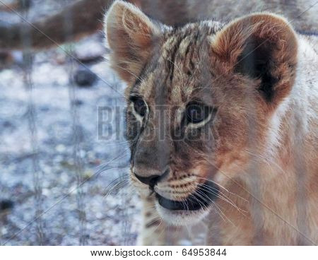 A Lion Cub Stares Out From Its Zoo Enclosure