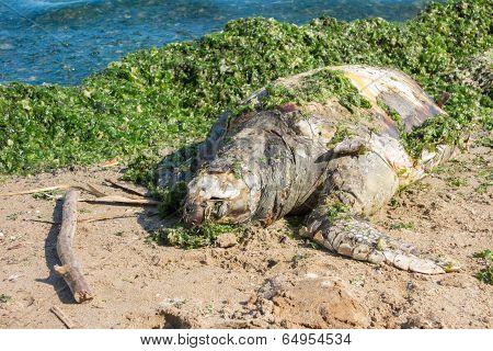 Dead Green Turtle