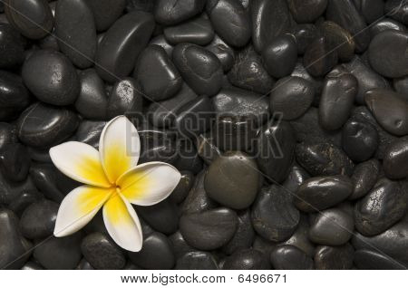 Frangipani And  Pebbles