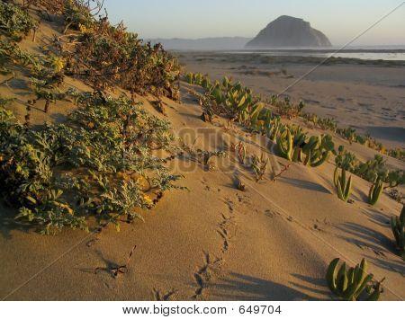 Sand Dune Iceplant