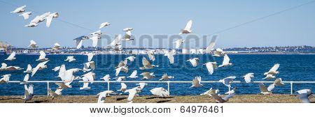 Flock Of Little Corella Aloft At Botany Bay, Nsw, Australia