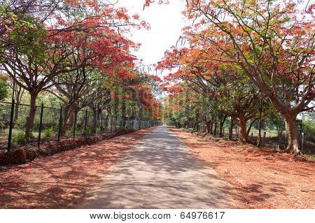 gulmohar trees on either side of road with the flowers and petals fallen on the ground