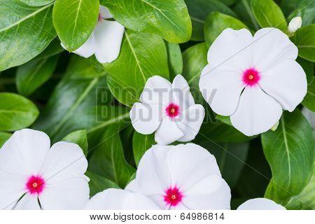 Madagascar Periwinkle Flowers Close-up