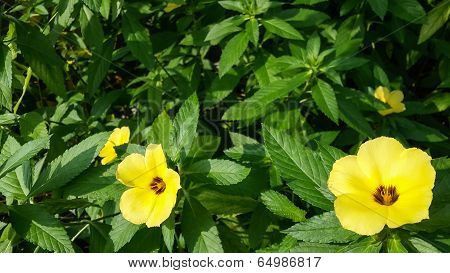 Turnera Subulata Flowers In The Garden
