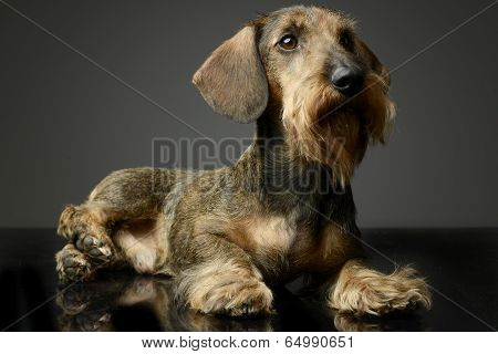 Dachshund looking