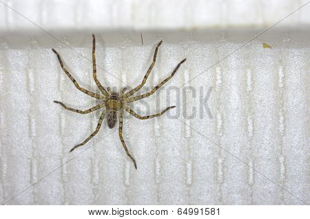 huntsman spider in the house