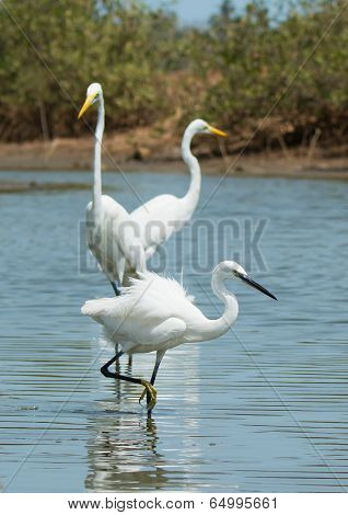 A White Western Reef Heron (egretta Gularis) Walking Infront Of 2 Great White Egrets (egretta Alba)