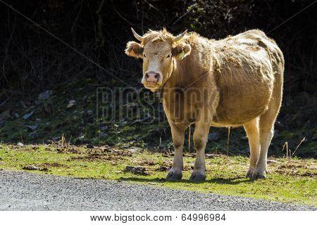 Tame Bull 2