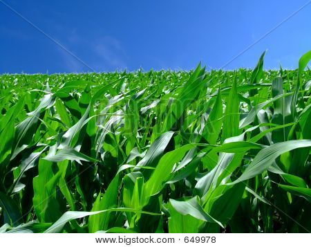 In The Middle Corn
