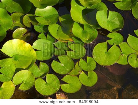 Green Water Lily On Wetland At Sunrise