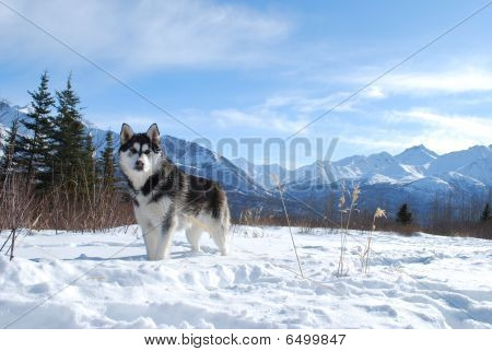 Siberian Husky Winter
