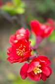 picture of wench  - close up of peach blooming branch in the garden - JPG