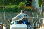 Seagul On Pier, Black Headed Gull.