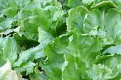 foto of endive  - Home grown Broad - JPG