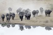 stock photo of herd  - Buffalo herd going to drink - JPG